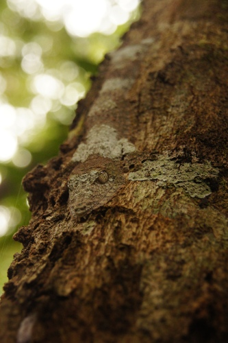 Do you see the leaf tailed gecko?