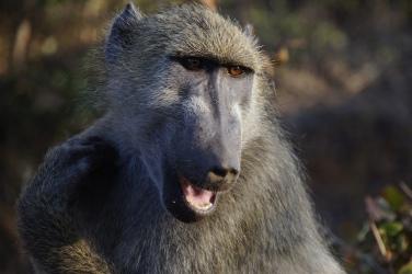 Friendly baboon on the border of Zambia and Zimbabwe