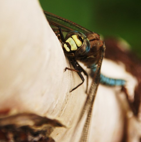 A dragonfly, sitting on a birch