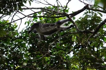 Udzungwa red colobus jumping between the trees (Procolobus gordonorum)