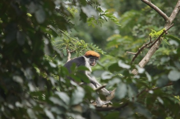A udzungwa red colobus (Procolobus gordonorum) (taken in Udzungwa not Ndundulu)