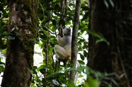 The silky sifaka again, climbing the trees.