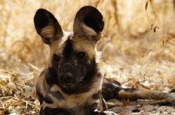 One of the painted dogs at the center.