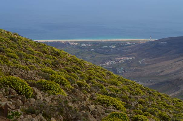 Balsam spurge (Euphorbia balsamifera) and the town of Morro Jable going up Pico de la Zarza, Fuerteventura