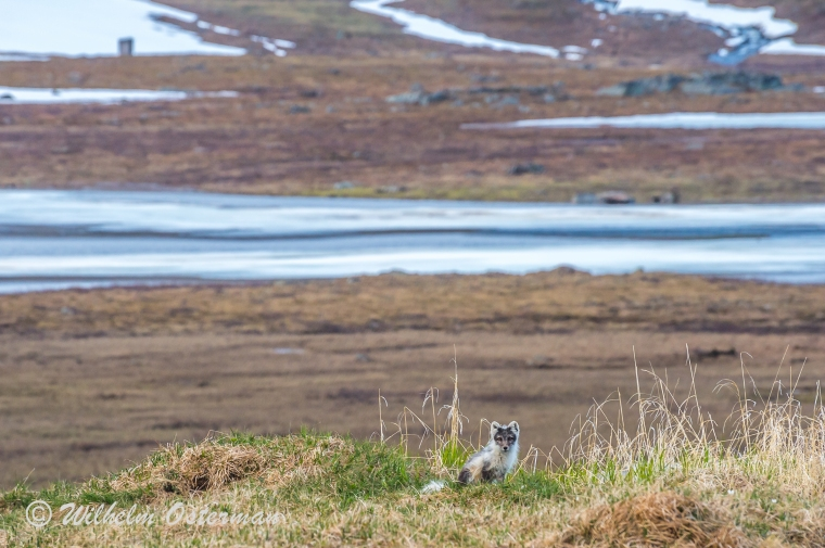 The arctic fox sitting on its den