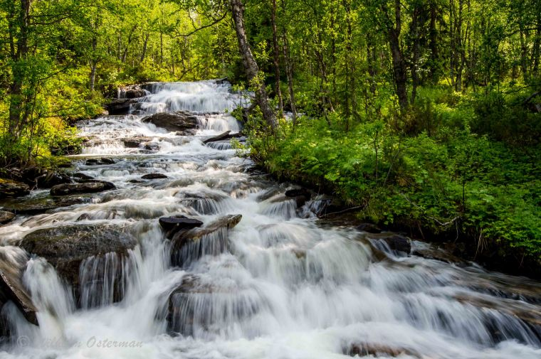 On the way up, several rapids flow through the birch forests of Ammarnäs