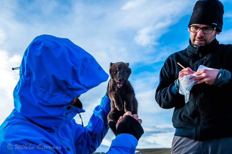 My two companions, marking an arctic fox cub