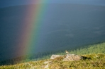 European golden plover (Latin: Pluvialis apricaria, Swedish: Ljungpipare) sitting next to a rainbow.