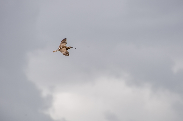 First time I see a Whimbrel (Latin: Numenius phaeopus, Swedish: Småspov). Fantastic :)