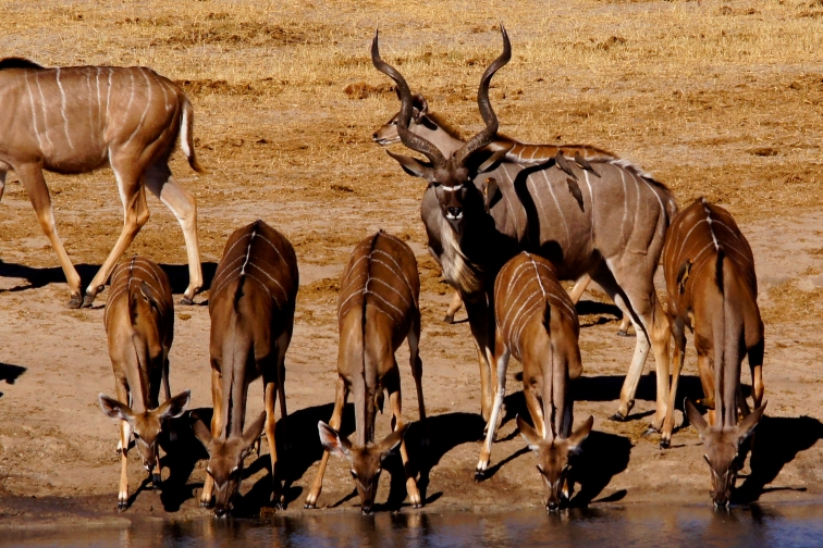 Greater kudu looking over his harem :)