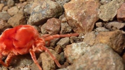 Giant velvet mite...the biggest mite in the world! (Taken in 2010)