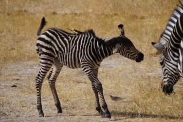 A young zebra shaking off the dust