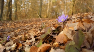 A liverwort (Hepatica nobilis) in germany