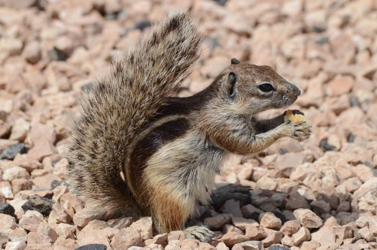Barbary ground squirrel (Atlantoxerus getulusin) Las Salinas, Fuerteventura.