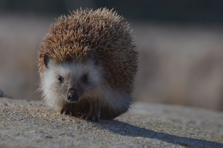 The origins of the North African hedgehog (Atelerix algirus) is unknown, but its suspected to have been introduced by man on the islands.