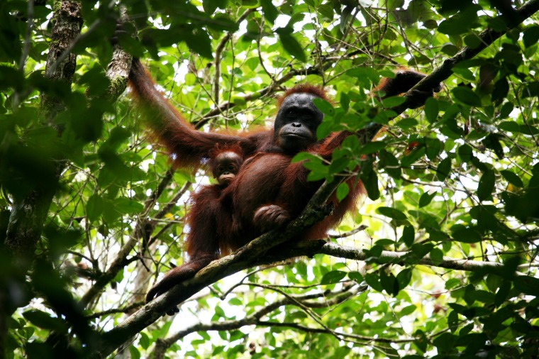 Become a godfather and help in the work of saving the orangutans. http://www.wwf.org.uk/what_we_do/safeguarding_the_natural_world/wildlife/orang_utan/ Photographer: Jimmy Syahirsyah, thank you!