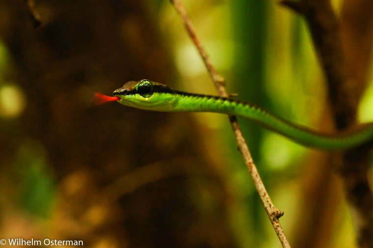 Elegant bronze back tree snake (Dendrelaphis formosus) found in the bushes