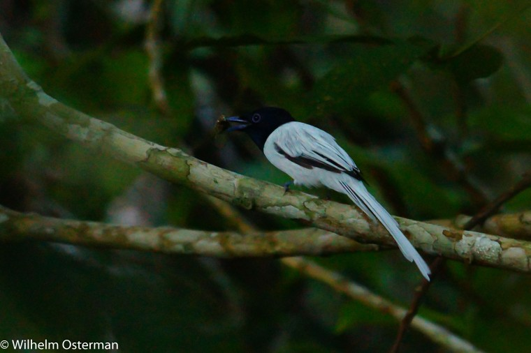 An asian paradise flycatcher (Terpsiphone paradisi) found in the morning