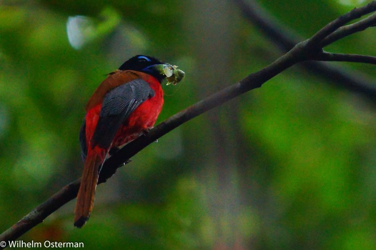 A scarlet rumped trongon (harpactes duvaucelii) that has caught a tasty meal!