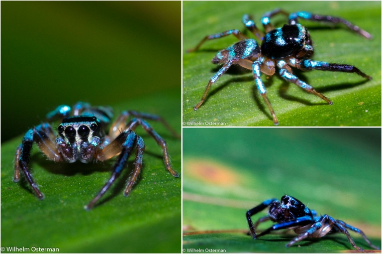 A collage of the blue jumping spider