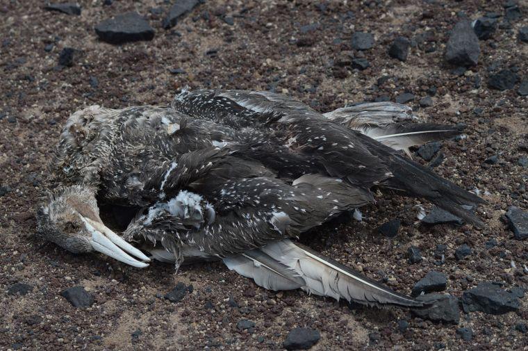 A juvinile northern gannet (Morus bassanus)  dead