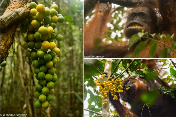Feeding on Akar Kuning