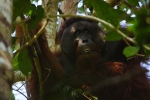 The last orangutan I followed, Wodan. He is a beautiful male, dominant and most of the time sleeping