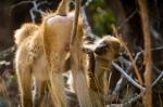 Kinda Baboon (Papio kindae) grooming
