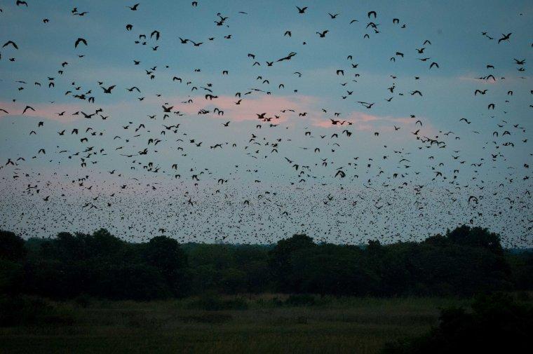 A storm of bats