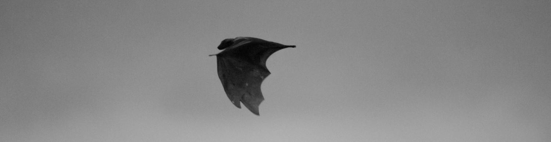 A storm of bats,Zambia