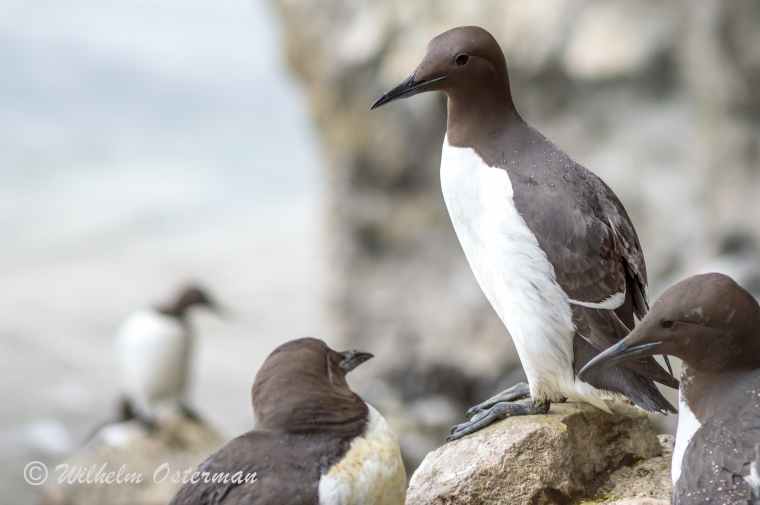 A common murre (Uria aalge) sitting on the rocks of Stora Karlsö