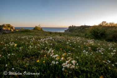 Morning view in May on Karlsö with fields of flowers moving in the wind.