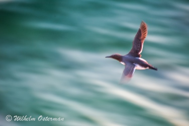 A common murre flying (Uria aalge). Photographed with a long sutter in order to get the blur.
