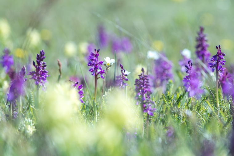 In may every year, parts of Karlsö is full of orchids. Especially the Early purple orchid (in the picture), and the Elderly flowered orchid.
