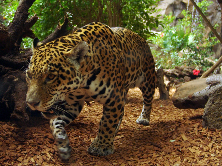 Jaguar by Joachim S. Muller. CC BY-NC-SA 2.0