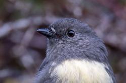 South Island robin (Petroica australis)